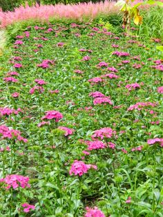 """Sweet William (Dianthus barbatus) massed  with group of pink astilbe """"Rheinland"""" in the background at James Gardens,  Etobicoke by garden muses: not another Toronto gardening blog."""