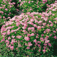 This Spirea has stunning delicate clusters of rose-pink flowers, on a backdrop of small toothed green leaves. Little Princess is suitable for smaller gardens due to its compact nature, requires little maintenance and will attract wildlife to your garden Spirea Shrub, Landscaping Images, Landscaping Plants, Little Princess Spirea, Planting Shrubs, Pink Plant, Hardy Plants, Landscape Plans