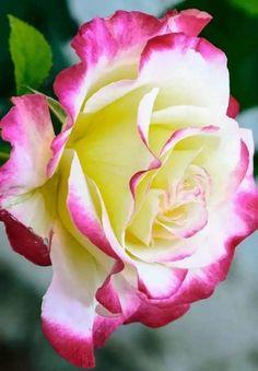 El esplendor de la rosa.