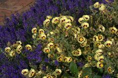 Halimiocistus wintonensis 'Merristwood Cream' Xeriscaping, Horticulture, Lavender, Cream, Garden, Plants, Creme Caramel, Garten, Garden Planning