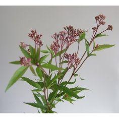 【生花】フジバカマ〔ピンク〕:::切り花・生花 の通販なら - はなどんやアソシエ