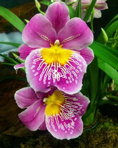 The annual Vancouver Orchid Society show kicks off today at Van Dusen Gardens Vancouver. Thousands of amazing #orchids. @vandusengarden . . #show #flowers #garden #gardenshow #nature #tropical #alien #blossoms #gardening #gardener #purple
