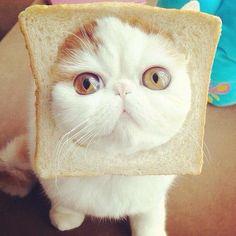 It's a cat sandwich!