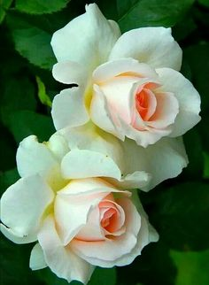New Flowers Tulips Quotes Ideas Beautiful Rose Flowers, Pretty Roses, Love Rose, Flowers Nature, Exotic Flowers, Amazing Flowers, White Flowers, Beautiful Flowers, Rose Pictures