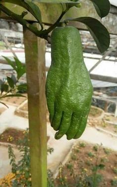 No Green Thumb? --Creepy Avocado: I'm wondering where the green thumb is. This is one scary looking piece of fruit.
