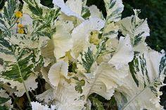 Variegated Horseradish garden