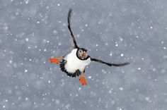 Price winning picture of a puffin