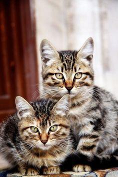 American Wirehair Cat / Kittens