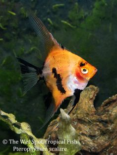 6 Small Red Koi Angelfish Pterophyllum Scalare Freshwater Live Tropical Fish   eBay