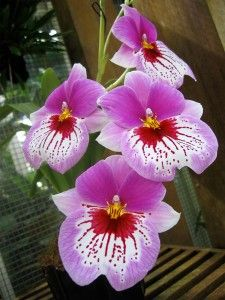 Orchids These flowers are beautiful. I like the color. The Incensewoman