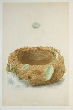 Bluethroat Nest & Eggs Reverend Morris 1800s by PaperPopinjay
