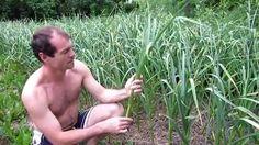 Семья Бровченко. Обработка чеснока во время его роста. Чеснок размером с...