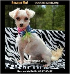 Josie (female)  Maltese  Age: Adult  Compatibility:Good with Most Dogs, Good with Adults (Not Kids) Health:Spayed, Vaccinations Current  If you are interested in me, please visit my site, www.breederadoptions.org, read my Policies and Procedures, complete the application and my rescuers will contact you promptly. HI! My name is Josie and I am a sweet little Maltese girl who is 7 years old and I weigh 5 pounds. I need a quiet home with no children and a stay at home parent who ...