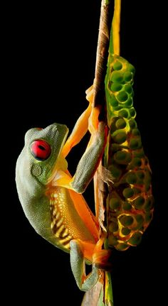 Red-eye treefrog taking care of its clutch.