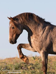 Red Raven - wild mustang stallion.  People pay unbelievable amounts of money for breeds that have what comes so naturally to this horse; spirit, gracefulness, beautiful animation in movement, conformation.  Where do they think their Andalusian's come from?