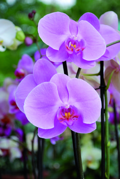 Phalaenopsis - Delicate and romantic, it is the phalaenopsis orchid in this beautiful shade of light pink - Exotic Flowers, Purple Flowers, Beautiful Flowers, Beautiful Pictures, Orchid Varieties, Phalaenopsis Orchid, Orchidaceae, Types Of Flowers, Beautiful Gardens