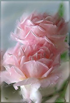 .Pink roses my favorite and my daughter Amanda's favorite also!