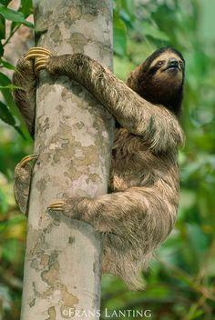 Three-toed sloth, Bradypus variegatus, Panama