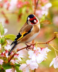 Goldfinch in Springtime by Brian Mckay Tropical Birds, Exotic Birds, Colorful Birds, Pretty Birds, Love Birds, Beautiful Birds, Kinds Of Birds, Bird Pictures, Little Birds