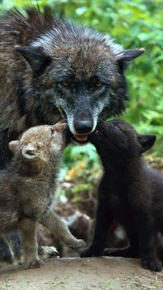 Great shot! This is how adult wolves feed their young. When they return from hunting and feeding they will regurgitate some of what they ate and the pups will eat from their mouths. And because wolf packs are one large family, all the adult members will help to feed them; it is not just the mother's job. In this way they will also feed the dog whose turn it was to stay behind and babysit while the others went to hunt.
