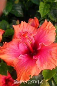 Monrovia's Erin Rachel Hibiscus details and information. Learn more about Monrovia plants and best practices for best possible plant performance.