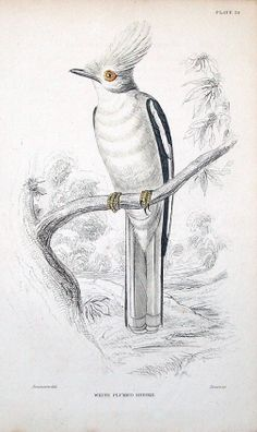 WHITE PLUMED SHRIKE Engraved by William Lizars after W Swainson Published Edinburgh circa 1838 by W H Lizars in Sir William Jardine s Naturalist s
