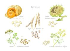 Of herbs, bees and seeds Drawing Lessons, Nature Illustration, Seeds, Animals, Christmas Plants, Elder Flower, Edible Flowers, Medicinal Plants, Dibujo
