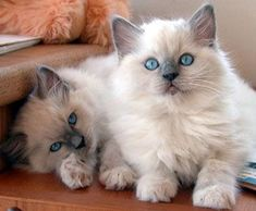 Ragamuffin kittens - if I ever were to get another cat it would be a Ragamuffin. Gatos Ragdoll, Ragdoll Kittens, Cute Cats And Kittens, Baby Cats, Kittens Cutest, Funny Kittens, Bengal Cats, White Kittens, Pretty Cats