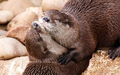 otters\' love | Flickr - Photo Sharing!