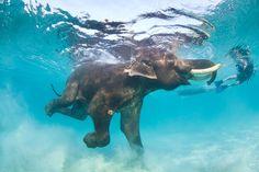 Swimming elephant!