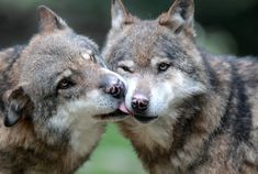 Pin do(a) rute nistor em wolf животные Wolf Love, Coyotes, Malamute, Animals Kissing, Wolf Husky, Wild Wolf, Beautiful Wolves, Wolf Spirit, Wolf Howling