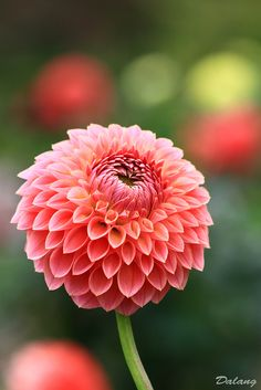 ~~You are beautiful, my Dahlia! by Dalang55555~~