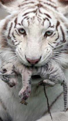 Beautiful mother tiger w/ baby tiger