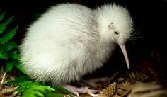 A white kiwi seen at Pukaha sanctuary in New Zealand. The male chick, named Manukura - meaning 'of chiefly status' in Maori - hatched on May 1 at the sanctuary north of Wellington, becoming the first white kiwi ever born in captivity. Rare Animals, Animals And Pets, Baby Kiwi, Baby Baby, Kiwi Bird, Nature Sauvage, Tier Fotos, Pictures Of The Week, Mundo Animal