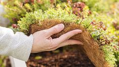 Ready-to-plant sedum ground cover from Lowe's