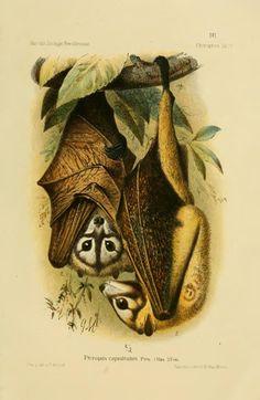 Die Fledermäuse des Berliner Museums für Naturkunde - BioStor