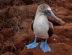 Blue-footed Booby, found mostly in Galapagos Islands Booby Bird, Blue Footed Booby, Bird Poster, Nature Posters, Lovely Creatures, Wild Nature, Pretty Birds, Bird Prints, My Animal