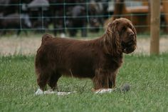 Sporting Dogs may also be referred to as 'gun' dogs or 'bird' dogs. The Sporting Group is home to some of the most popular dog breeds in the world. Tiny Dog Breeds, Dog Breeds List, Sussex Spaniel, Dog List, Hazel Eyes, Small Dogs, Animals And Pets, Spaniels, Classic