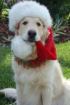 #Golden #Retriever is ready for Christmas