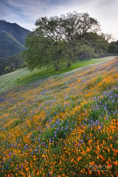 Poppies, lupine, and oaks blooming in an area burned by the 1990 A-Rock Fire, near El Portal, CA California Wildflowers, California Poppy, Beautiful World, Beautiful Places, Beautiful Pictures, Landscape Photography, Nature Photography, Image Nature, Felder