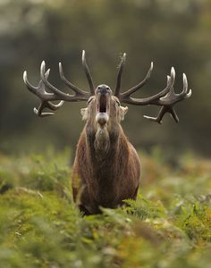THE BUGLE OF AN ELK...