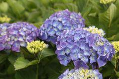 HYDRANGEA macrophylla 'Renate Steiniger' Hydrangea Macrophylla, Cabbage, Vegetables, Food, Hydrangeas, Veggies, Vegetable Recipes, Meals, Cabbages