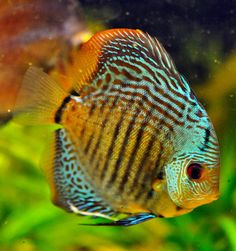 Common discus (Symphysodon haraldi) | Flickr - Photo Sharing!