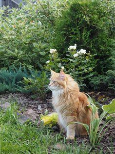 Лада, мейн-кун, кошка, кот, рыжий кот, рыжая кошка, мой сад, сад, сад своими руками