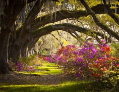 Charleston, South Carolina: Magnolia Plantations, another of my favorite places in Charleston