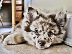 Pomeranian/Australian Shep mix