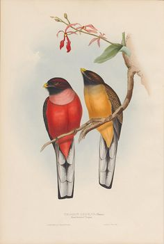 Trogon ardens (Rosy-breasted Trogon) by peacay, via Flickr