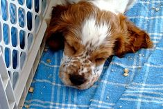 Ivywild Welsh Springer Spaniels - |  Ivywild Welsh Springer Spaniel Puppies  |