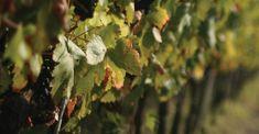 #Castelferretti: Azienda Agraria Giusti - Vigneti autoctoni di vino Lacrima di Morro d'Alba #lacrima #montepulciano #sangiovese #merlot #verdicchio