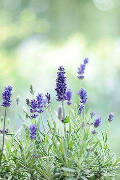ben lavendel aan het drogen uit mijn tuin!!!